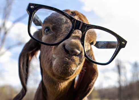 Funny-Goat-With-Glasses