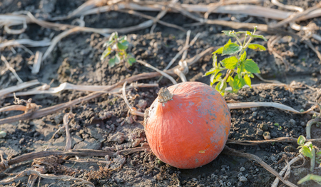 47209074 - after harvesting of the pumpkins one small not quite perfect orange pumpkin is left behind between the withered plants in the field of the organic pumpkin nursery.